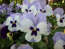 美妙的蓝色pansys,蝴蝶花,中提琴,紫罗兰类,花 库存照片