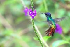 美妙的蜂鸟在飞行中,金黄被盯梢的青玉,秘鲁 免版税库存图片