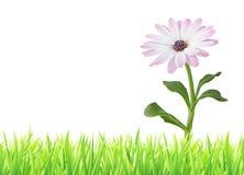 美妙的雏菊延命菊, Bornholmmargerite在与拷贝空间的白色背景隔绝的草甸 免版税库存图片