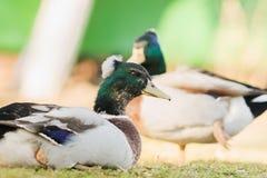美妙的鸭子 免版税库存图片
