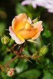 美妙的黄色玫瑰 库存照片