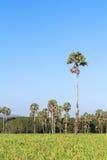 美妙的绿色米领域和蓝天 库存图片