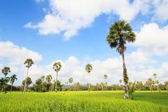 美妙的绿色米领域和蓝天 免版税库存图片