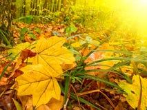 美妙秋天早期的森林的早晨 库存照片