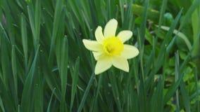 美妙美好的黄色narcicus绽放