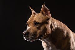 美洲叭喇狗画象特写镜头在演播室有黑背景 库存照片
