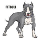 美洲叭喇狗,美国美洲叭喇,宠物商标,狗pitbull,上色了设计、彩色插图适当作为商标或队的宠物 皇族释放例证