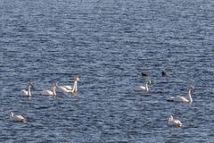 美洲天鹅、天鹅座天鹅座和野鸭鸭子在Hananger浇灌在利斯塔,挪威 免版税库存图片