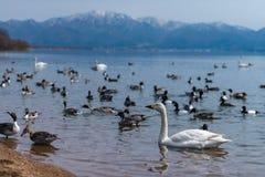 美洲天鹅小野鸭天鹅座和小组低头在蓝色盐水湖的游泳 库存图片