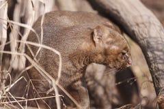 美洲山猫 免版税库存照片
