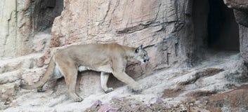 美洲狮回到它的穴在寻找以后 库存图片