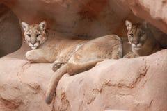 美洲狮在菲尼斯动物园里 免版税库存照片