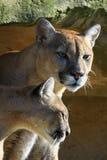 美洲狮夫妇 库存照片