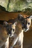 美洲狮夫妇 免版税库存图片