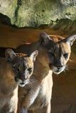 美洲狮夫妇 免版税库存照片