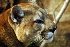 美洲狮男 库存照片