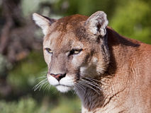 美洲狮美洲狮concolor纵向 库存图片