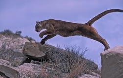 美洲狮飞跃 免版税图库摄影