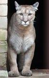 美洲狮 免版税库存照片