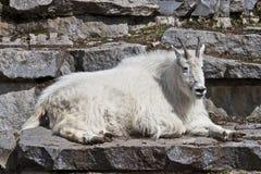 美洲的山羊山oreamnos 库存图片