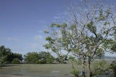 美洲红树再造林 免版税库存图片