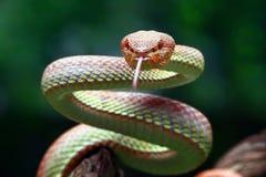 美洲红树坑蛇蝎特写镜头 库存图片