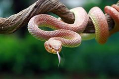 美洲红树坑蛇蝎特写镜头 免版税库存图片