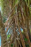 美洲红树投下气生根的棕榈树在加勒比 免版税图库摄影