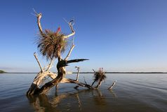 美洲红树断枝在大沼泽地国家公园,佛罗里达 库存图片