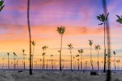 美洲红树日落 免版税库存照片