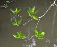 美洲红树树在森林里 免版税库存图片