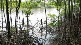 美洲红树树根在动作缓慢水域中允许美好的沉积积累 影视素材