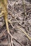 美洲红树树根在自然美洲红树森林里,自然本底的 库存照片