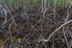 美洲红树根是丰富的美洲红树森林 库存照片