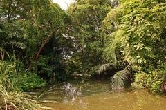 美洲红树森林或潮间带的森林 免版税库存照片