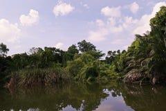 美洲红树森林或潮间带的森林 免版税图库摄影