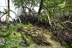 美洲红树森林海岸地区 免版税库存图片
