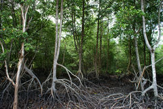 美洲红树沼泽地 免版税库存图片