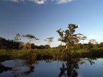 美洲红树沼泽 免版税图库摄影
