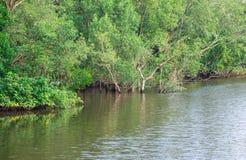 美洲红树沼泽 库存图片