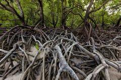 美洲红树热带岸的树森林 免版税库存照片
