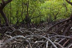 美洲红树热带岸的树森林 免版税库存图片