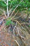 美洲红树生态系沼泽地 免版税图库摄影