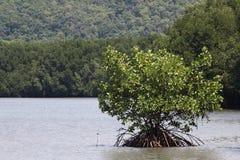美洲红树结构树 免版税库存照片