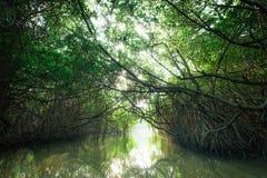 美洲红树雨林斯里兰卡神奇风景  库存照片