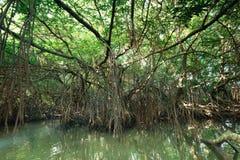 美洲红树雨林斯里兰卡神奇风景  免版税库存图片