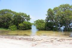 美洲红树,热带沿海植被 免版税库存图片