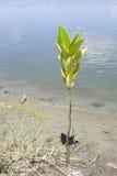 美洲红树 免版税库存照片