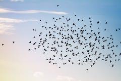 美洲红翼鸫大群  免版税库存图片