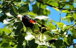 美洲红翼鸫或Agelaius Phoeniceus 免版税库存照片